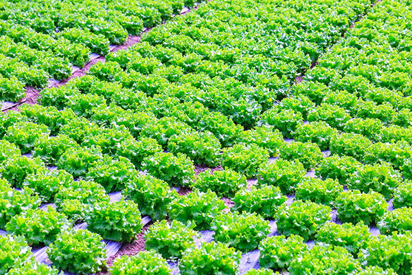 Photo of rows of lettuce, with plastic mulch covering the lettuce